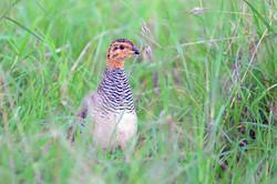 Coqui Francolin - Maasai Mara - Kenya -