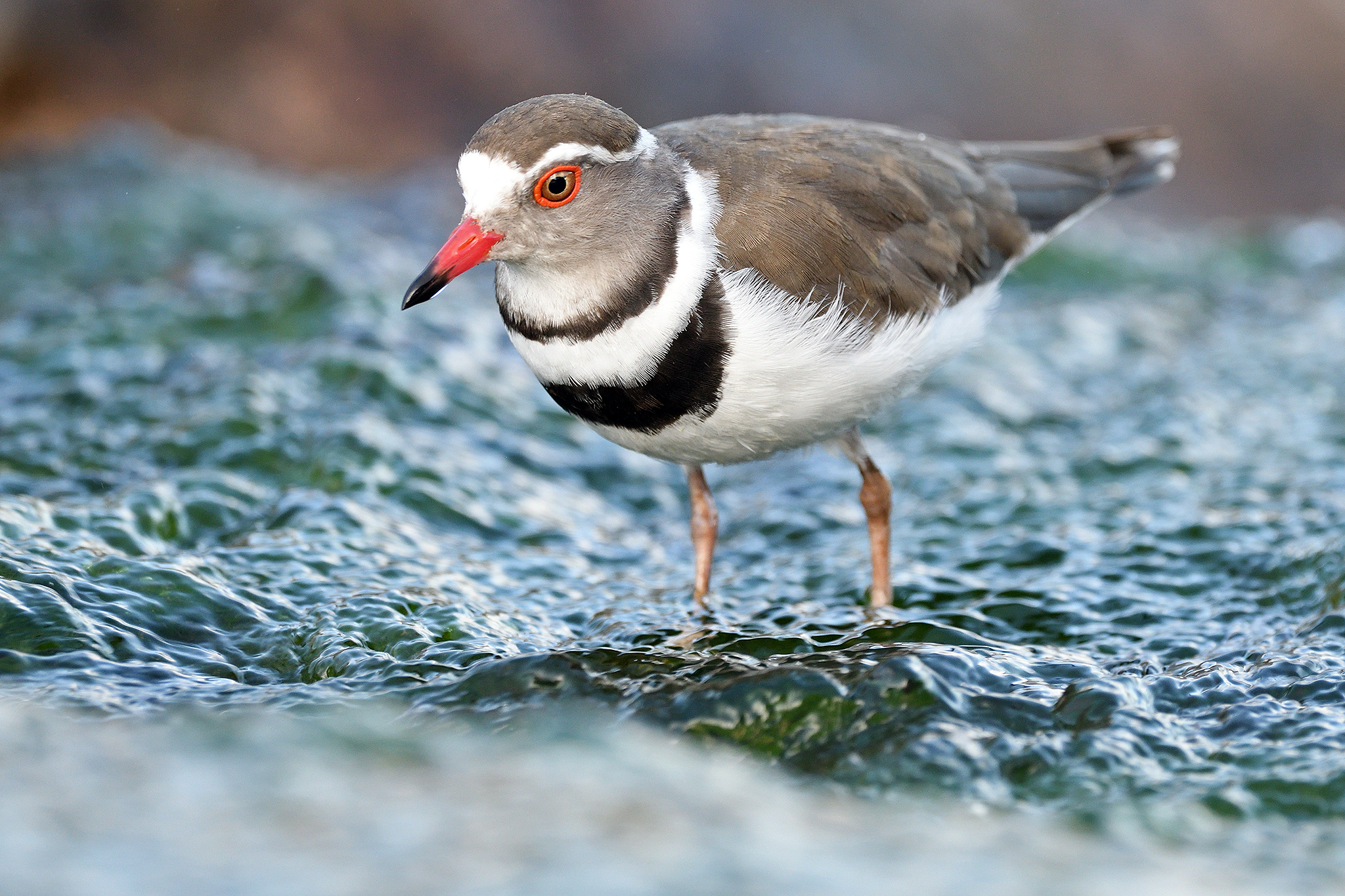 Three-banded Plover - Kruger - South Afr