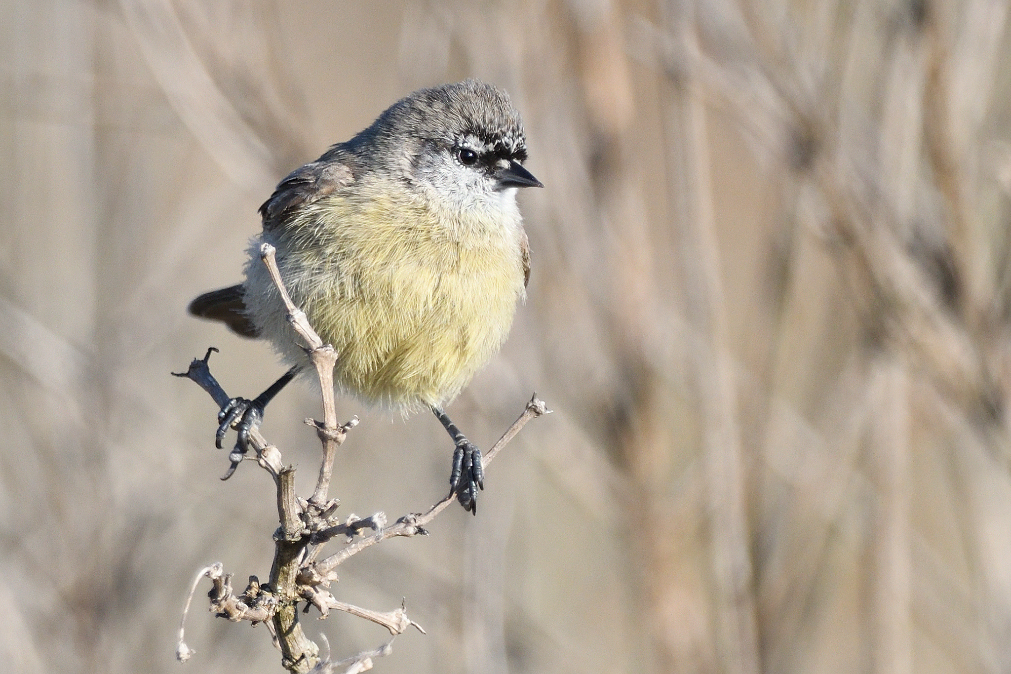 Cape Penduline Tit - WCNP - South Africa