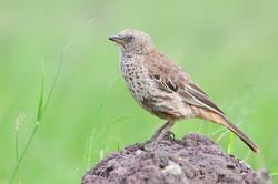 Rufous-tailed Weaver - Ngorongoro Crater