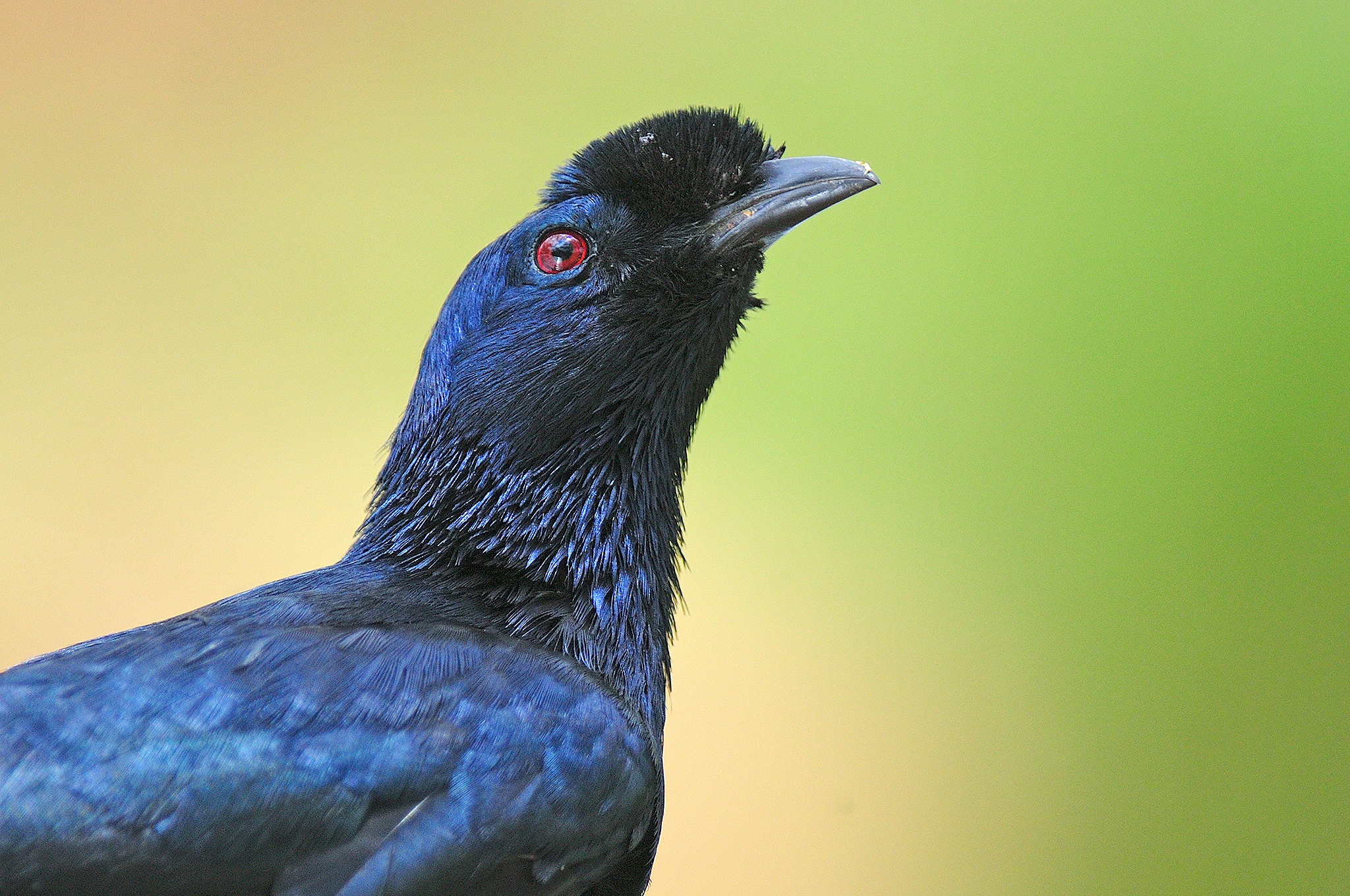 Bristle-crowned Starling - Sof Omar - Et