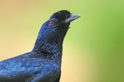 Bristle-crowned Starling - Sof Omar - Et