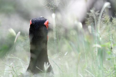 Southern Ground Hornbill - Kruger - Sout