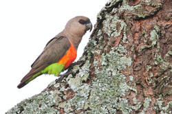 Red-bellied Parrot - Yabello - Ethiopia