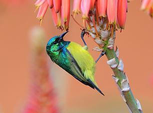 Collared Sunbird - Hluhluwe - South Afri