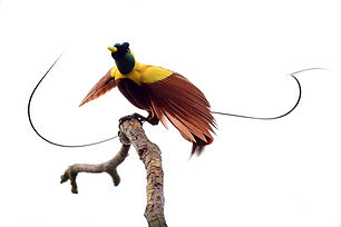 Bird-of-Paradise, Red - West Papua - RL