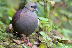 Crested Quail-Dove - Jamaica - Rich Lind