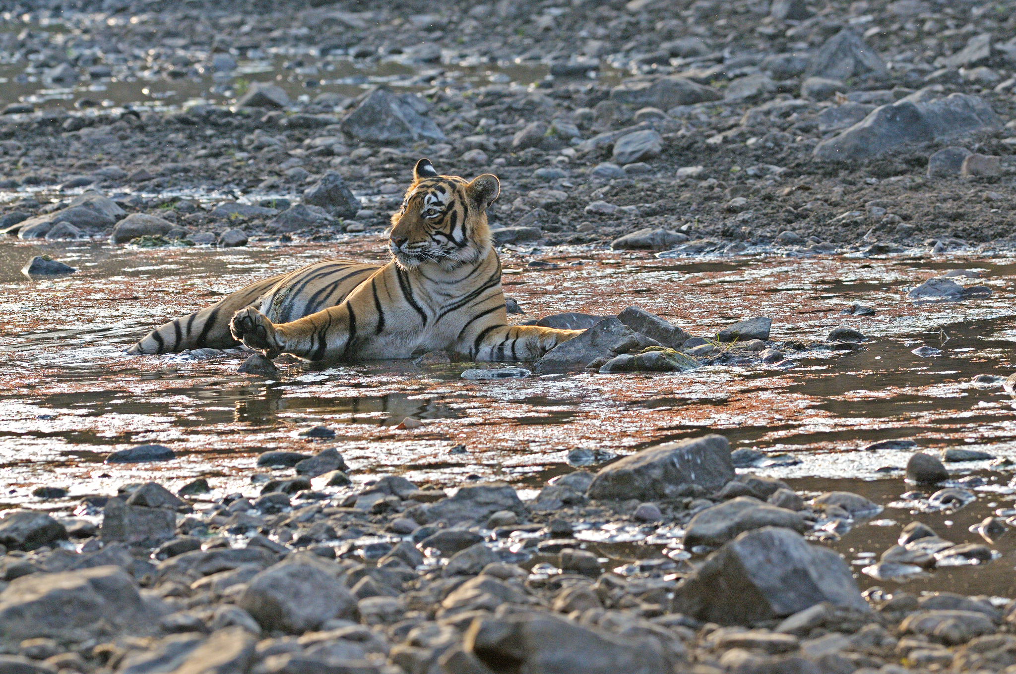 Tiger - Ranthambore - India - Rich Lindi