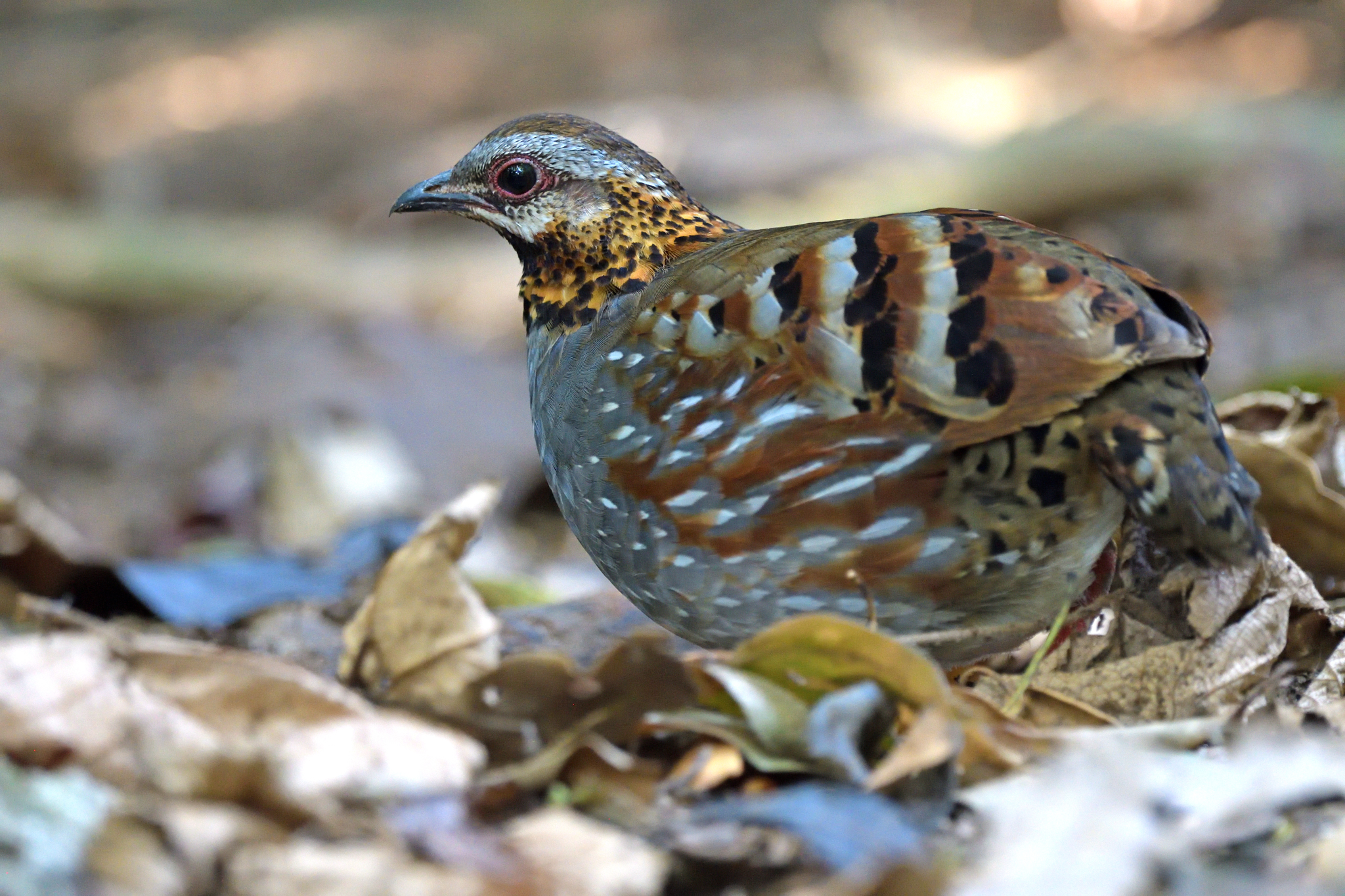 Rufous-throated Partridge - Dalat - Viet