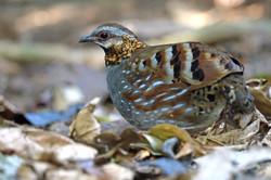 Rufous-throated Partridge - Dalat - Viet