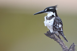 Pied Kingfisher - Kruger - South Africa