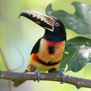Collared Aracari - Cerro Azul - Panama -