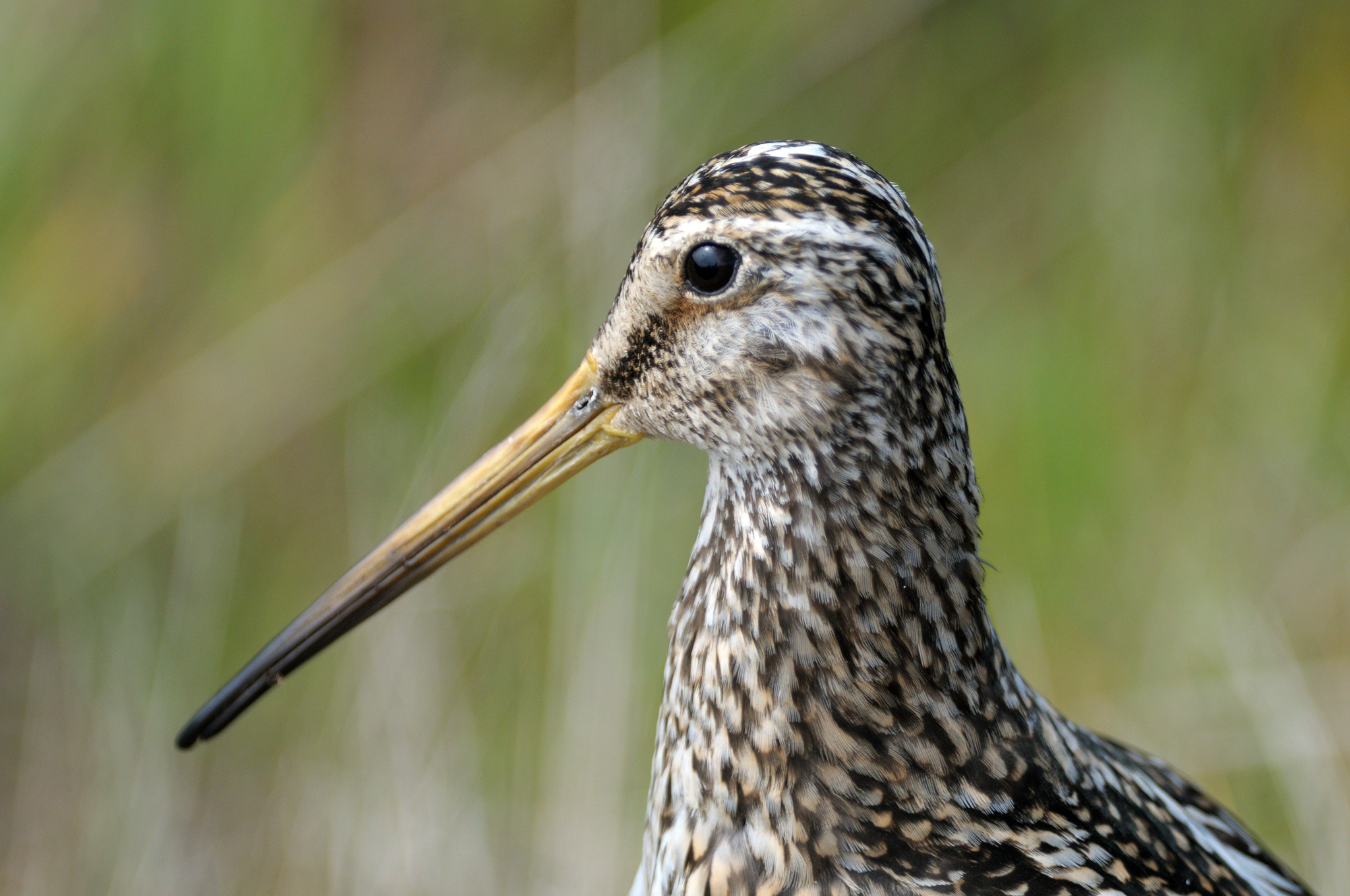 South American Snipe (magellanica) - Car