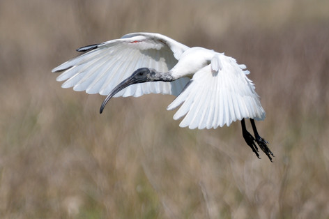 Black-headed Ibis - Bharatpur - India -