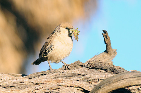 Sociable Weaver - Witsand - South Africa
