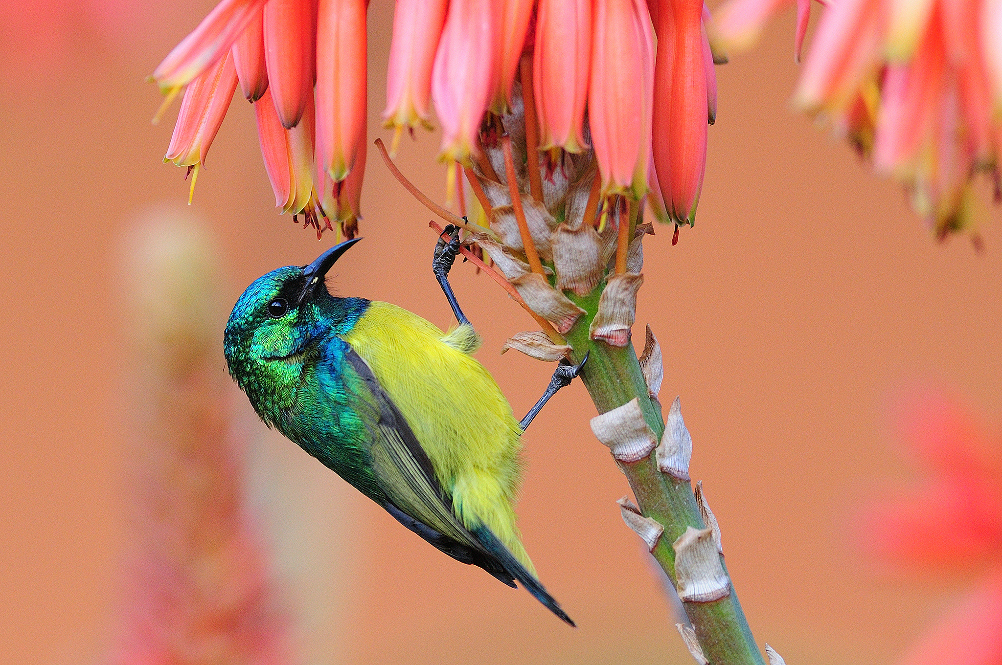 Collared Sunbird - Hluhluwe - South Afri