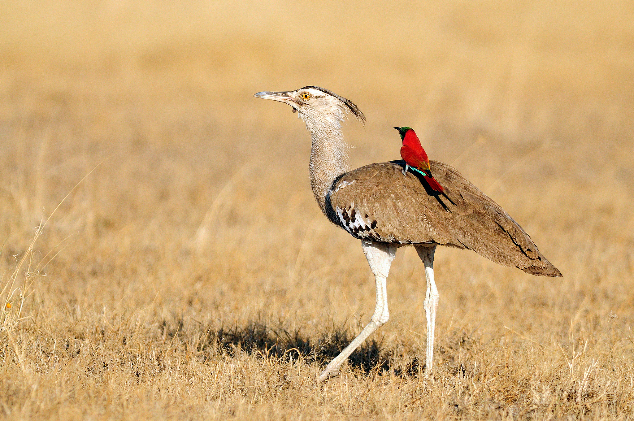 Kori Bustard and Northern Carmine Bee-ea