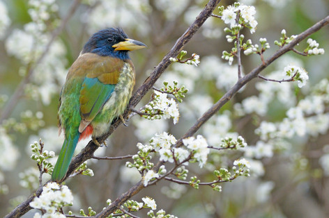 Great Barbet - Nainital - India - Rich L