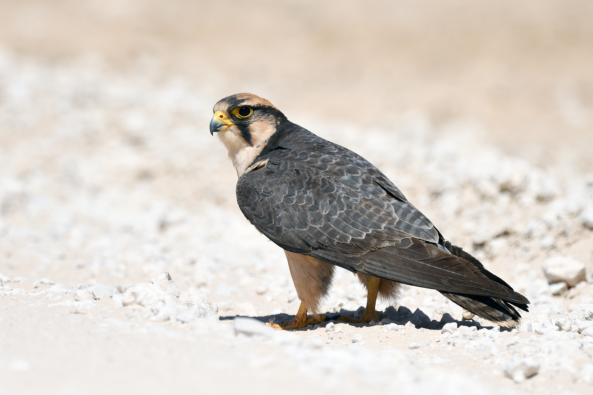 Lanner Falcon - Kgalagadi - South Africa