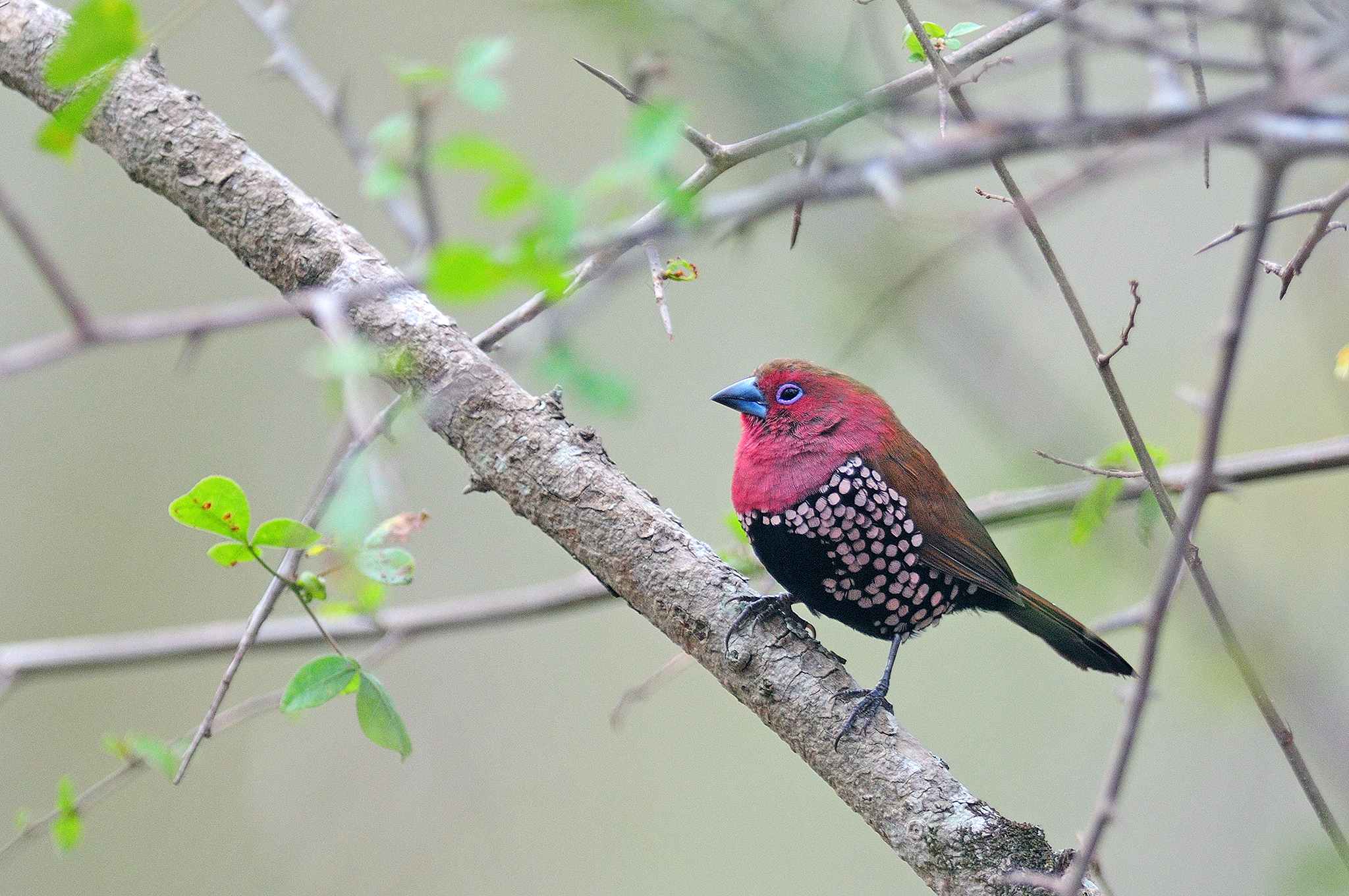 Pink-throated Twinspot - Ndumo - South A