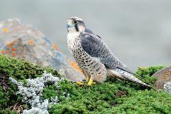 Lanner Falcon - Sanetti Plateau - Ethiop