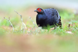 Mikado Pheasant - Dasyuesan - Taiwan - R