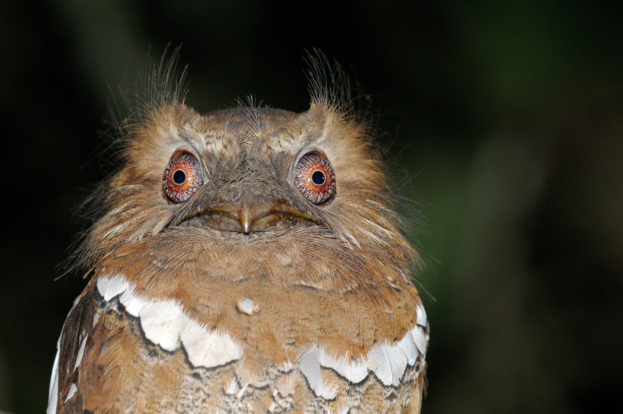 Philippine Frogmouth- Kitanglad - Philip