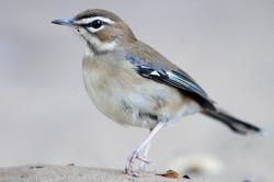 Brown Scrub Robin - Kosi - South Africa