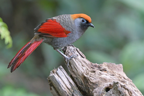 Red-tailed Laughingthrush - Yunnan - Chi