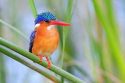 Malachite Kingfisher - Awassa Lake - Eth