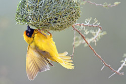 Southern Masked Weaver - Marrick - South