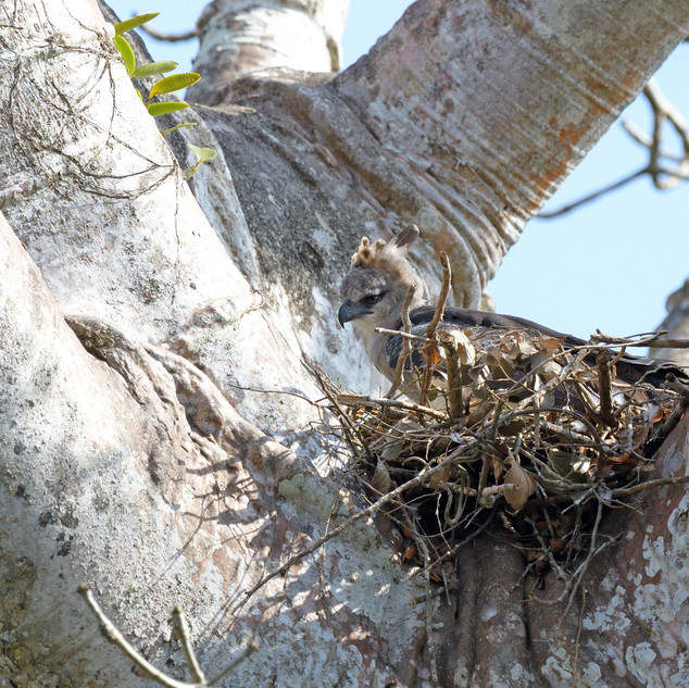 Crested Eagle - Darien - Panama - Rich L