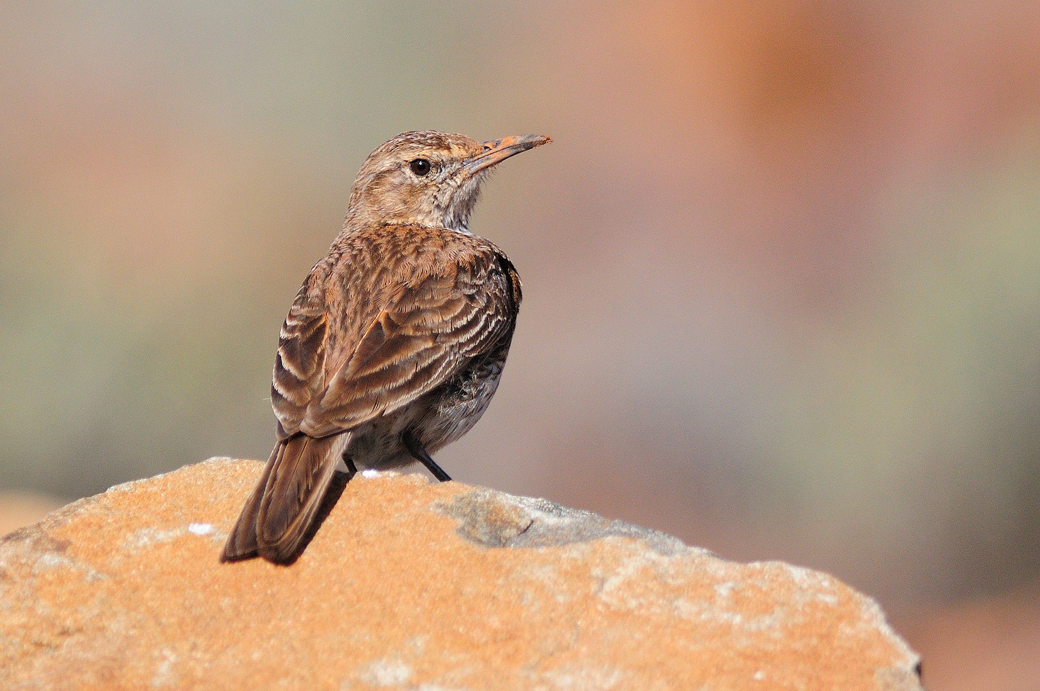 Eastern Long-billed Lark - Mountain Zebr