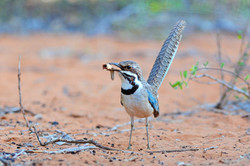 Long-tailed Ground Roller - Ifaty - Mada