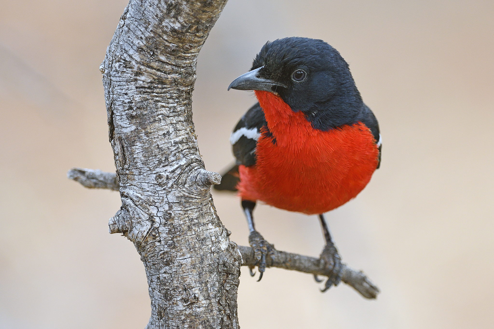 Crimson-breasted Shrike - Marrick - Sout