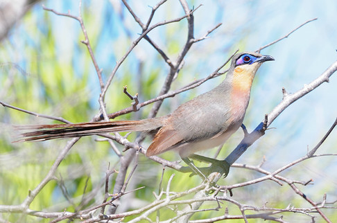 Red-capped Coua - Madagascar - Rich Lind