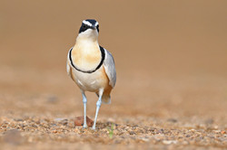 Egyptian Plover - Ghana - Rich Lindie 11