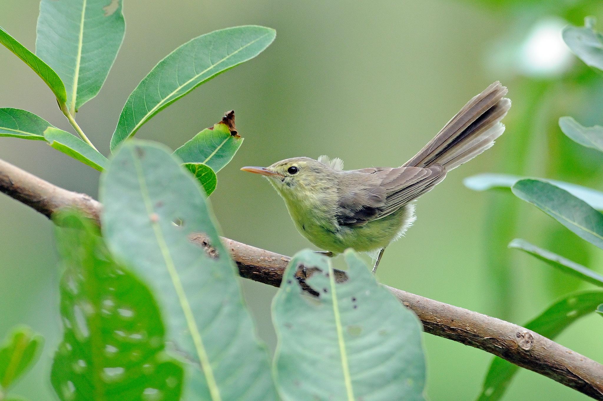 Rodrigues Warbler - Rodrigues Island - R