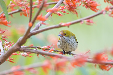 Yellow-vented Flowerpecker - Bhutan - Ri