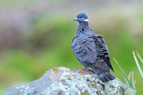 White-collared Pigeon - Ethiopia - Rich