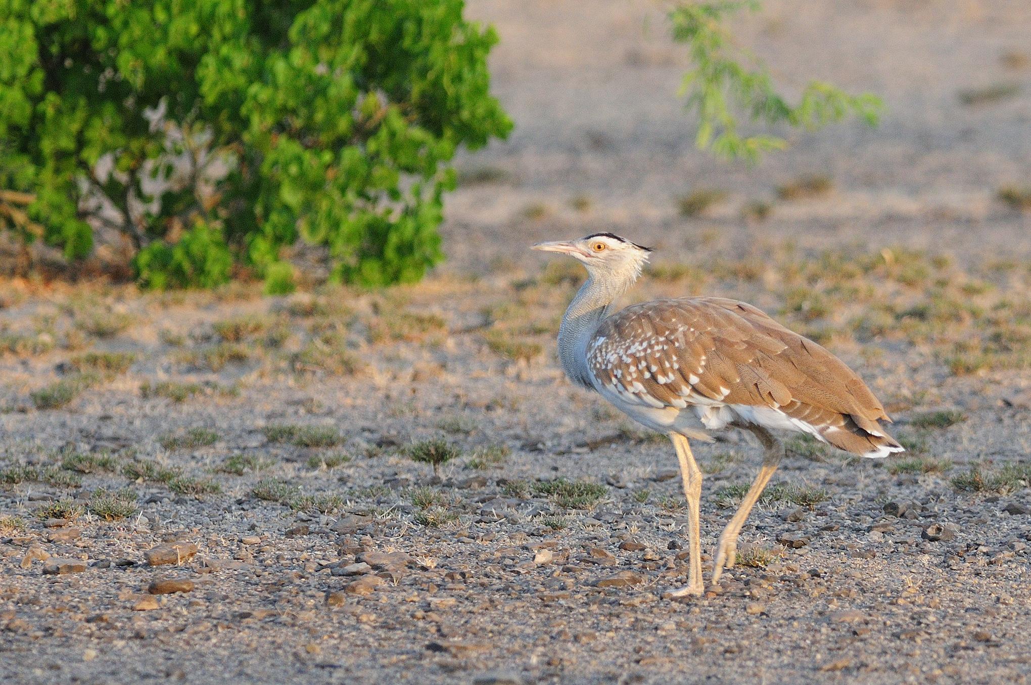 Arabian Bustard - Bilen - Ethiopia - Ric