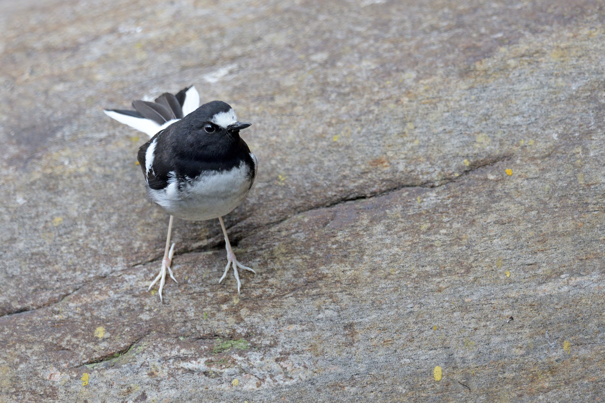 Little Forktail - Bhutan - Rich Lindie 6