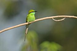 Green Bee-eater - Bandhavgarh - India -