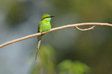 Green Bee-eater - Bandhavgarh - India -