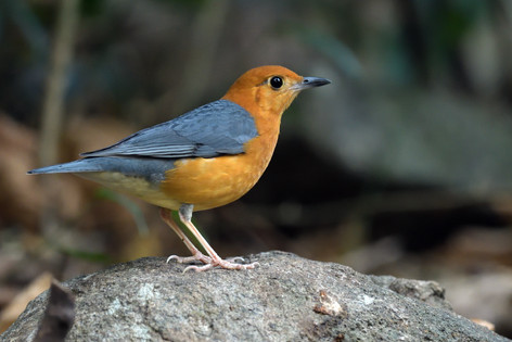 Orange-headed Thrush - Di Linh - Vietnam