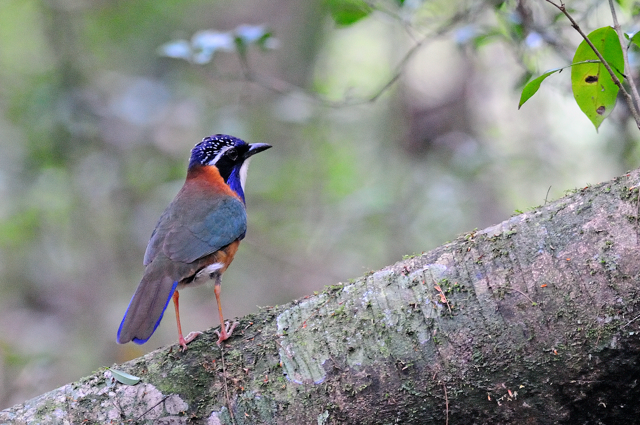 Pitta-like Ground Roller - Mantadia - Ma