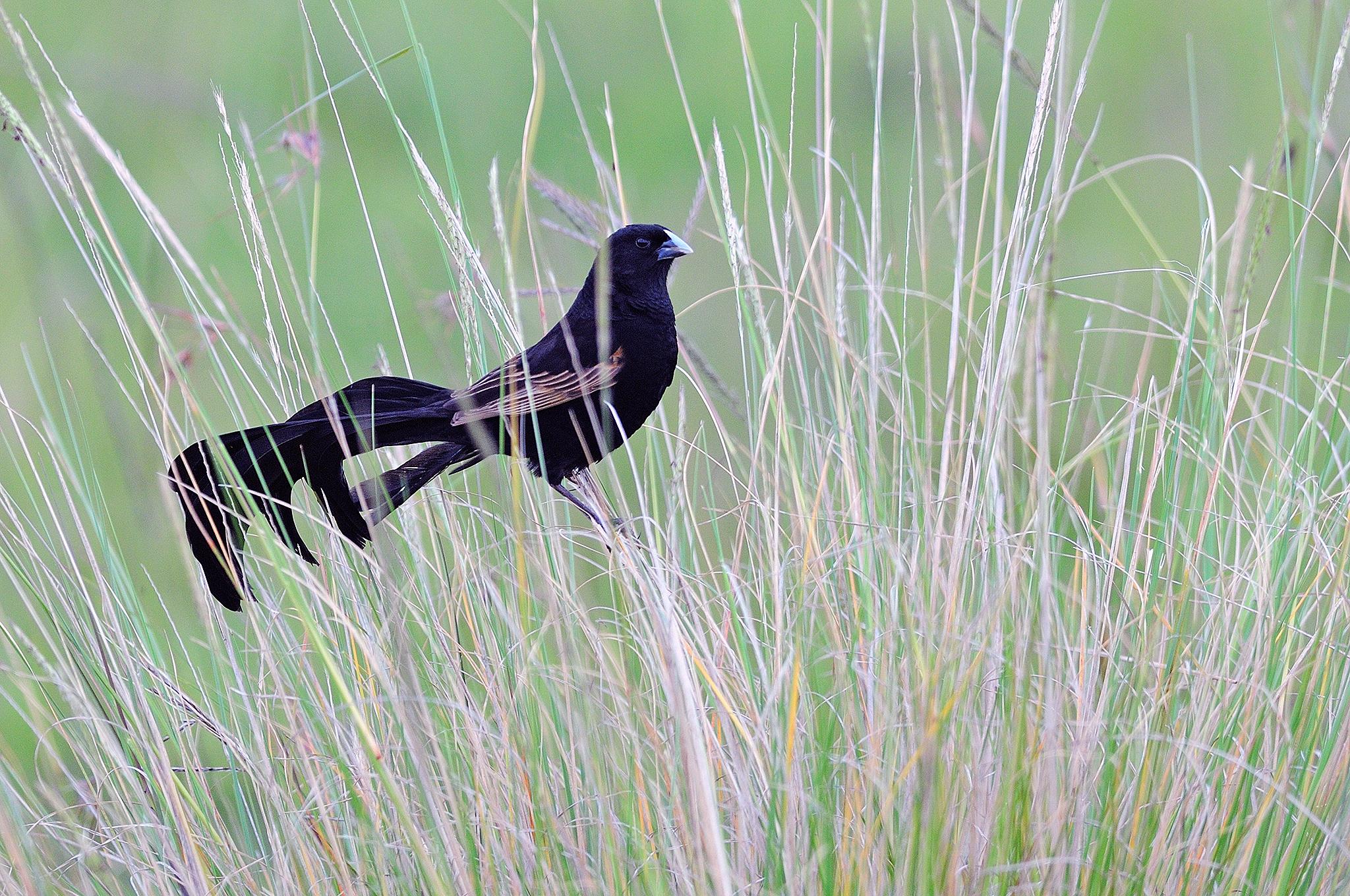 Jackson's_Widowbird_-_Maasai_Mara_-_Keny