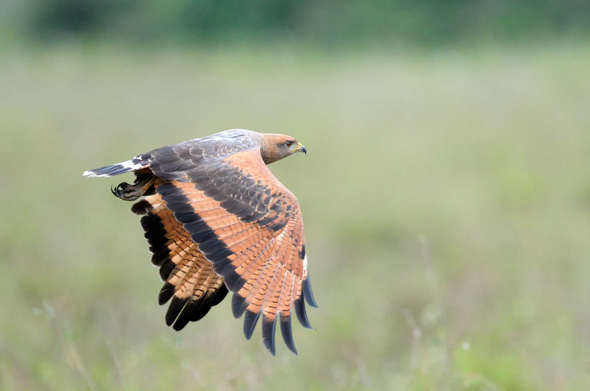 Savanna Hawk - Pantanal - Brazil - Rich