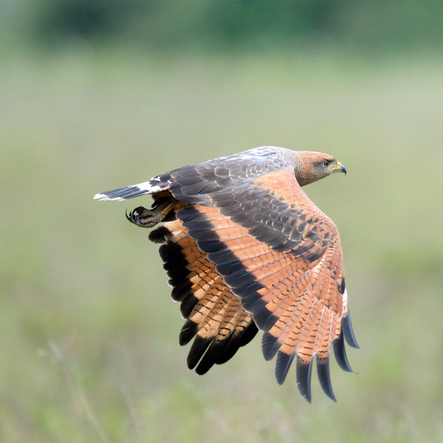 Savanna Hawk - Pantanal - Brazil - Rich