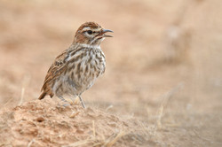 Red Lark - South Africa - Rich Lindie -